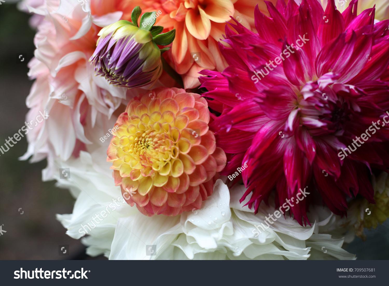 Dahlia Flowers Isolated Water Lily Joey Winnie Stock Photo Edit Now