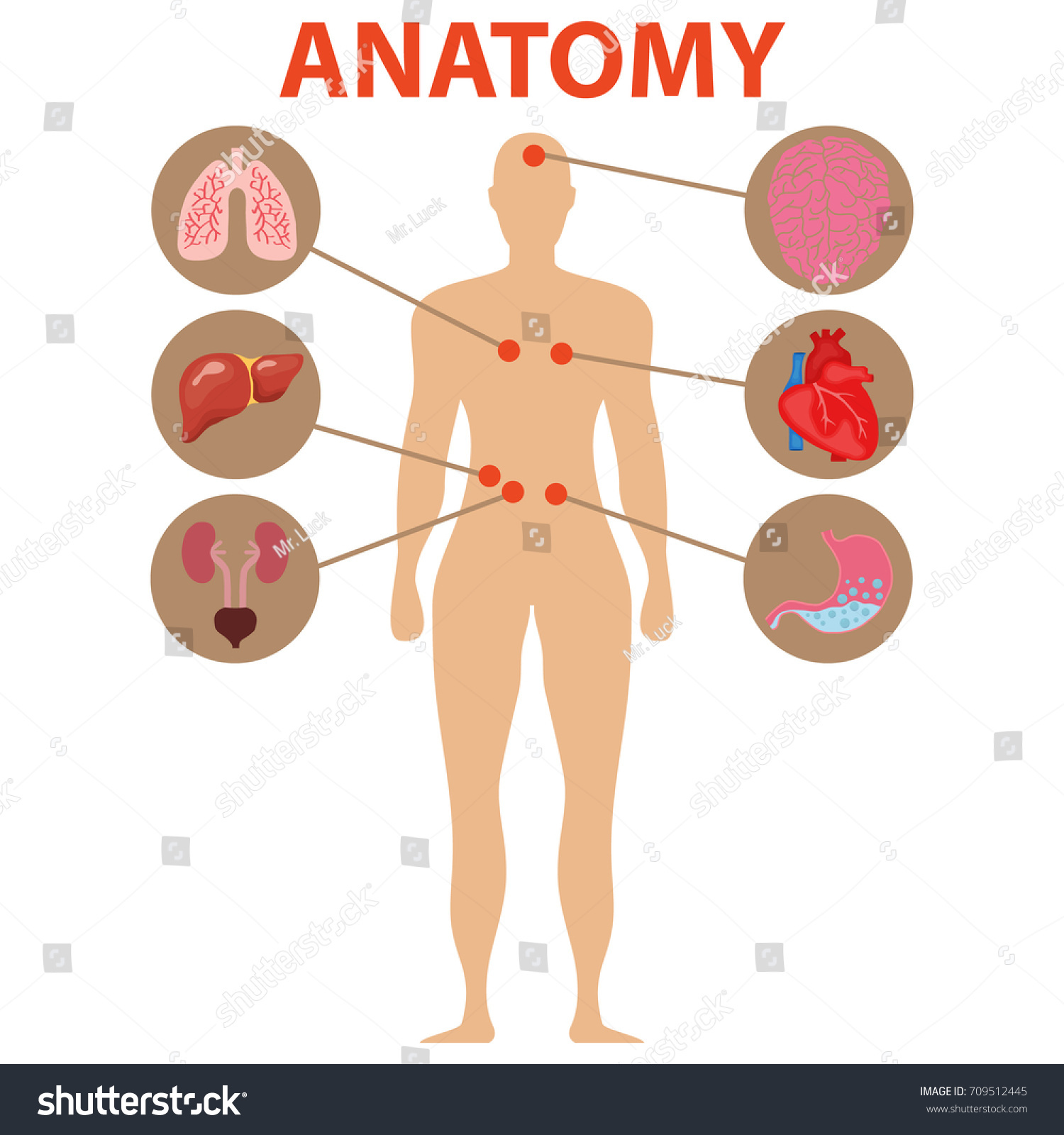 Human anatomy human organs brain heart stock vector hd royalty free the brain heart stomach lungs liver ccuart Gallery