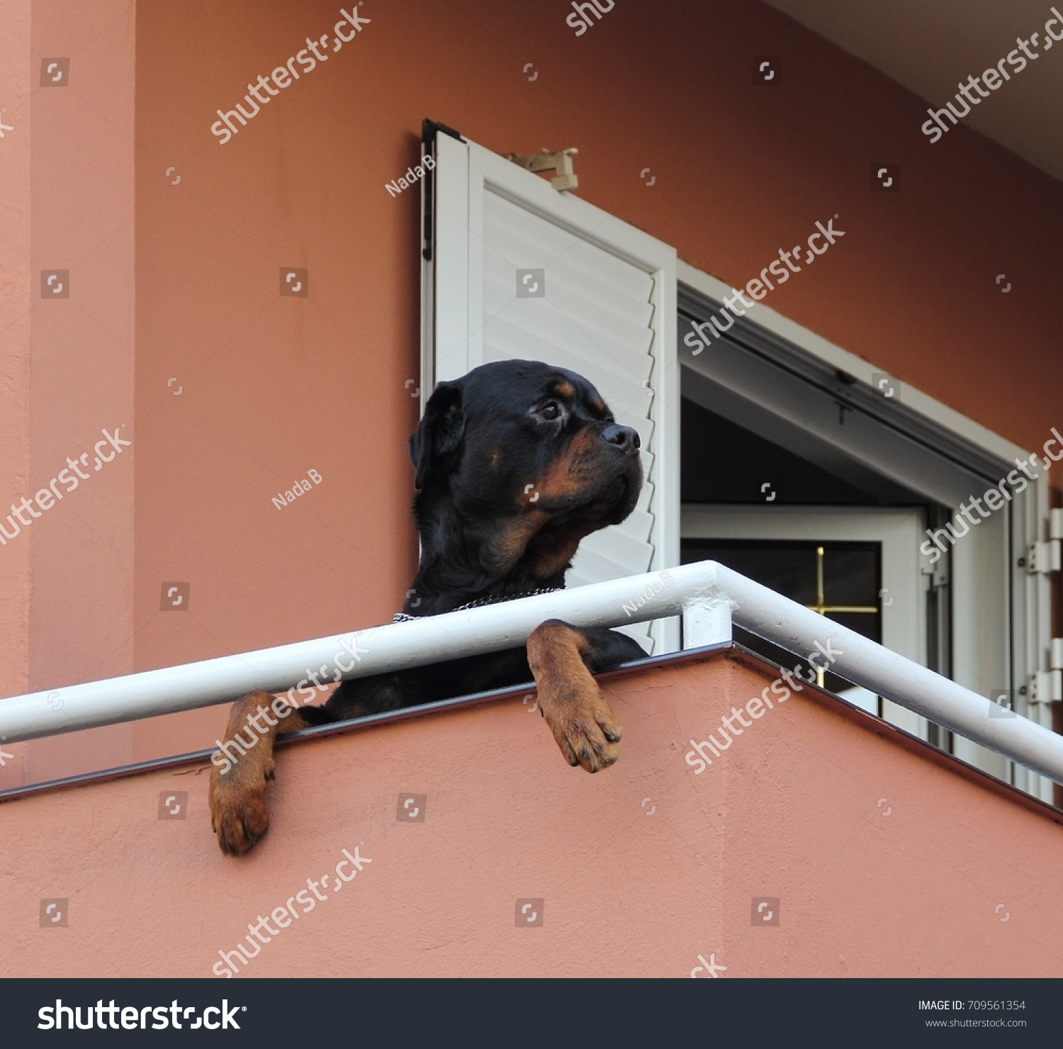 Black Rottweiler on pink terrace looking
