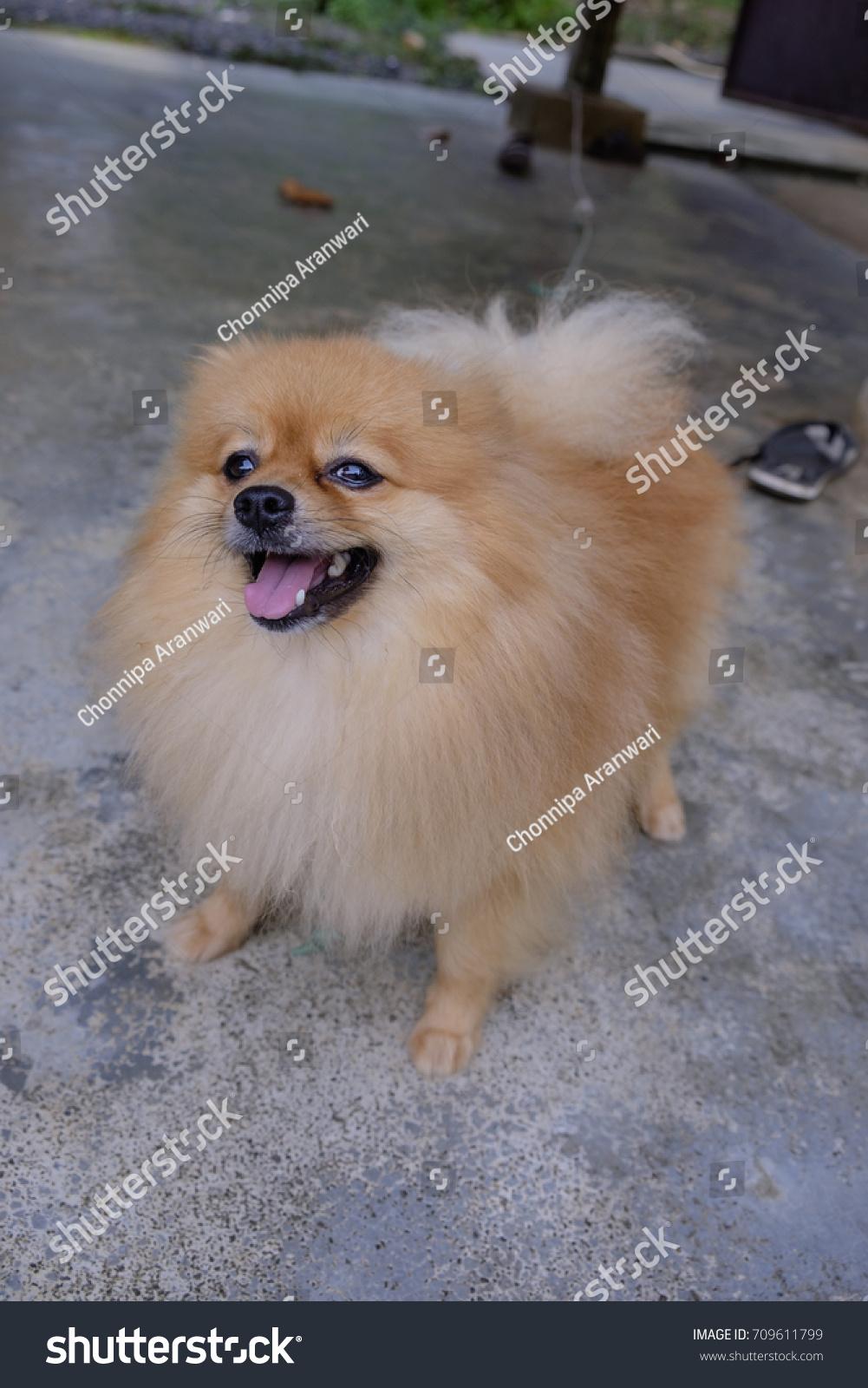 Cute Pomeranian Dog Brown Color Ez Canvas
