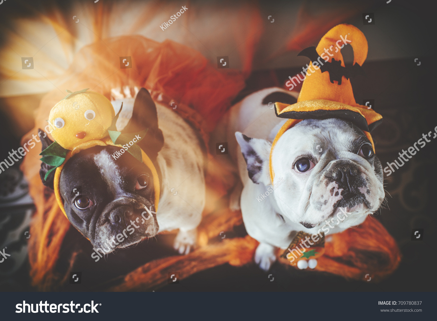 couple of dogs with halloween costume & Couple Dogs Halloween Costume Stock Photo (Royalty Free) 709780837 ...