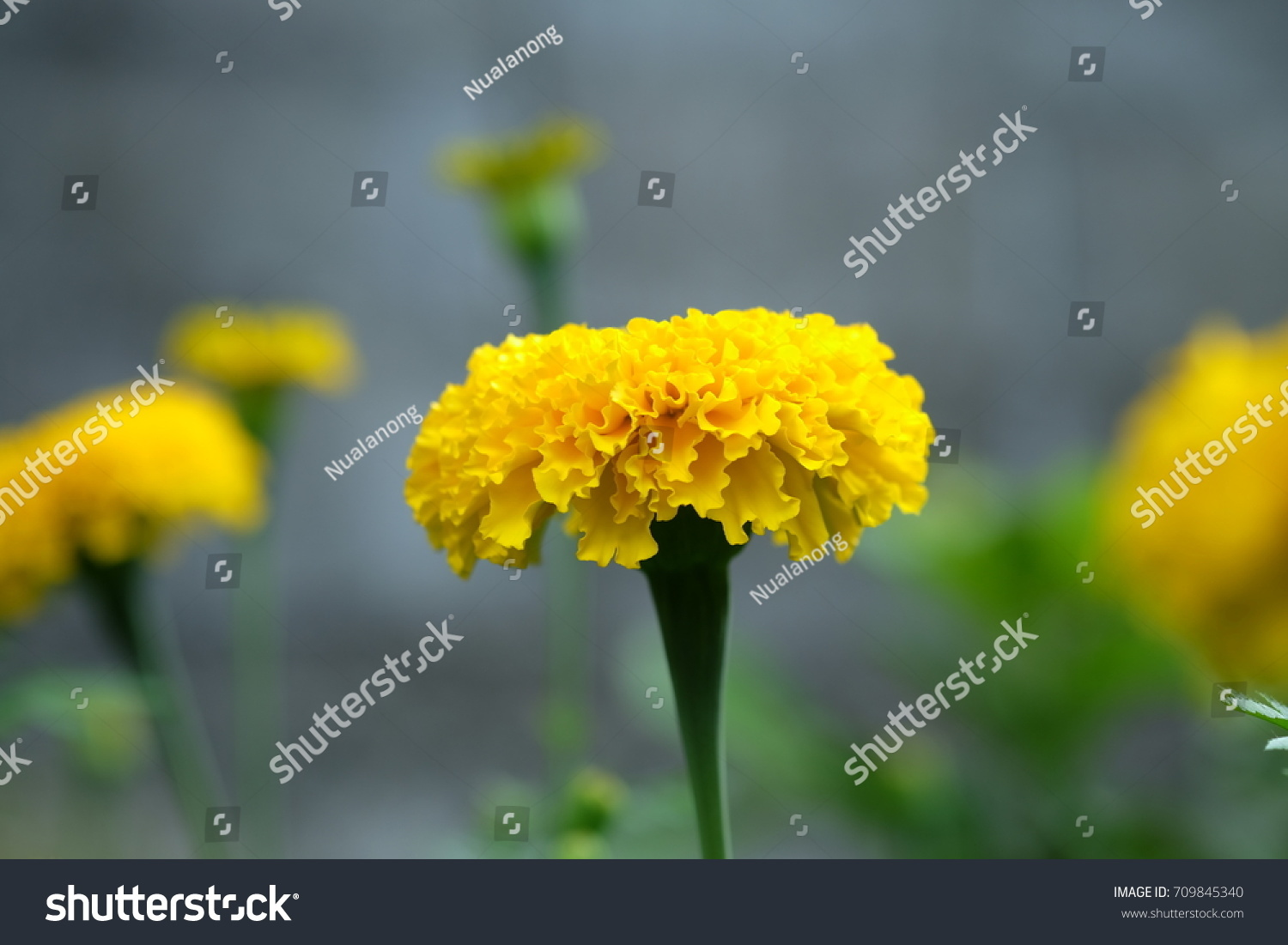 Marigolds Yellow Color Flower Garden Green Stock Photo Royalty Free