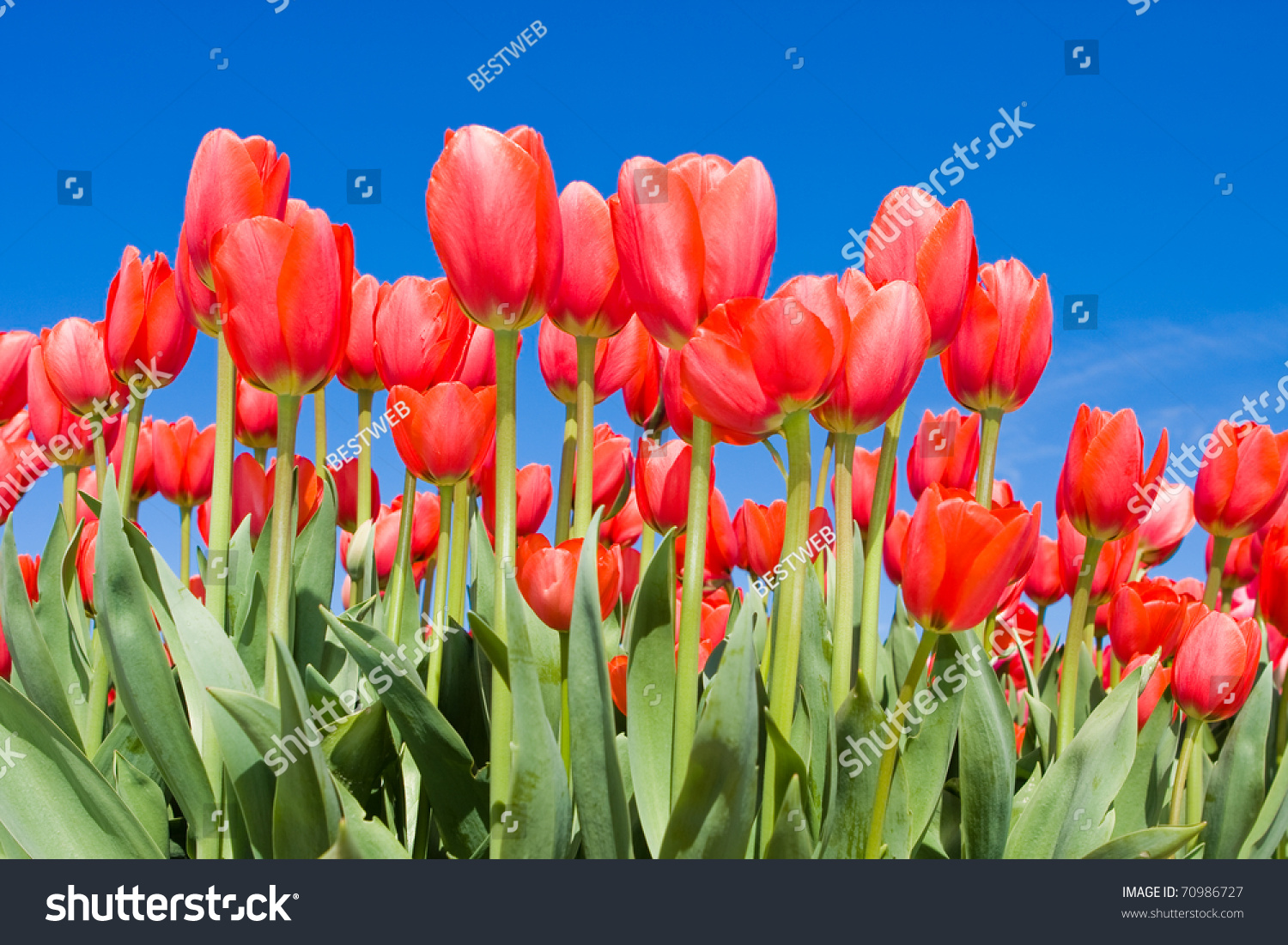 Color Flower Fields Holland Spring Stock Photo (Royalty Free ...