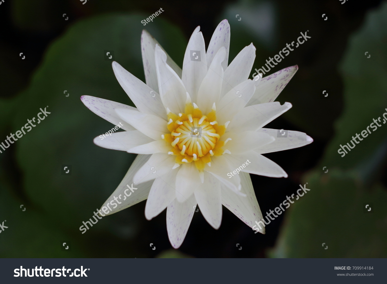 White Yellow Lotus Flower And Lotus Flower Plants Water Ez Canvas