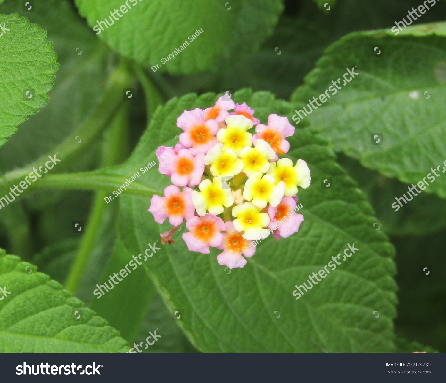 Lantana Genus About 150 Species Perennial Stock Photo Edit Now