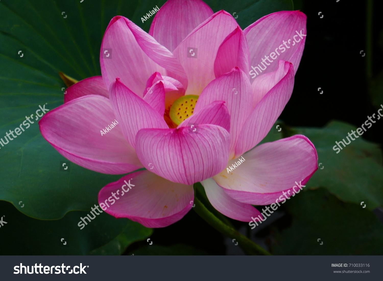 Japanese Lotus Flower Stock Photo Edit Now 710033116 Shutterstock