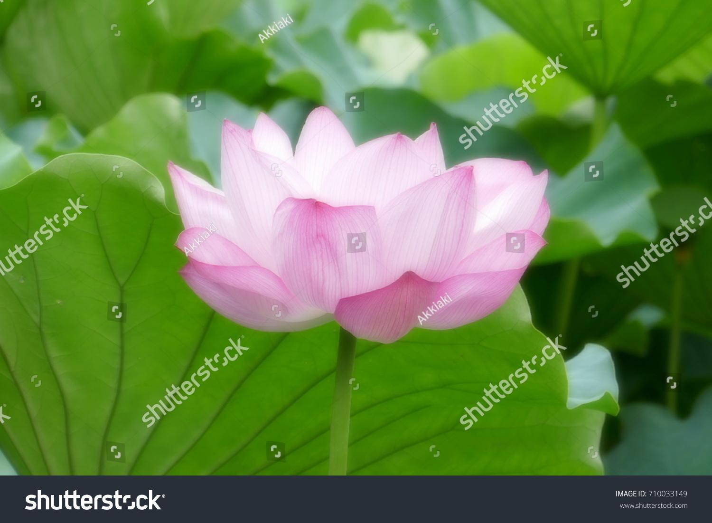 Japanese Lotus Flower Stock Photo Edit Now 710033149 Shutterstock