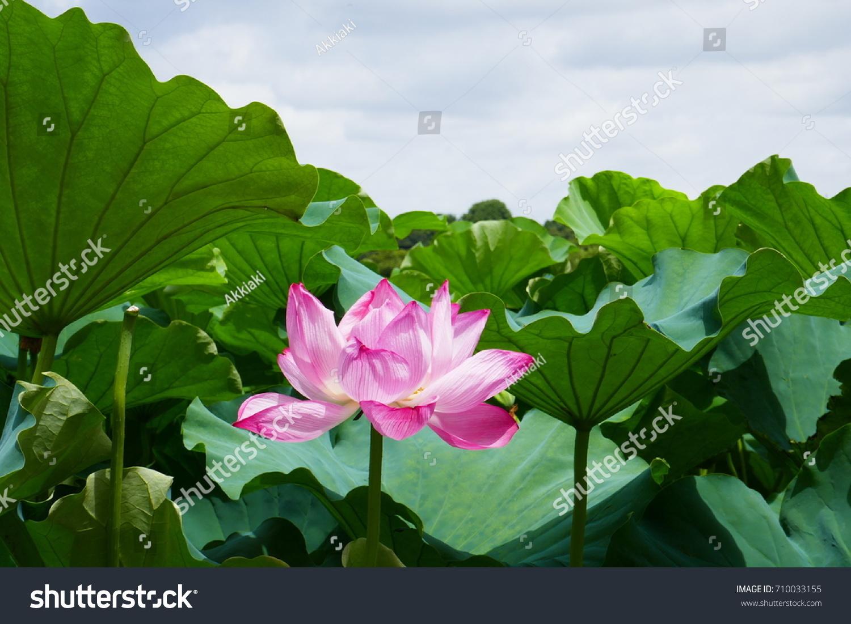 Japanese Lotus Flower Stock Photo Edit Now 710033155 Shutterstock