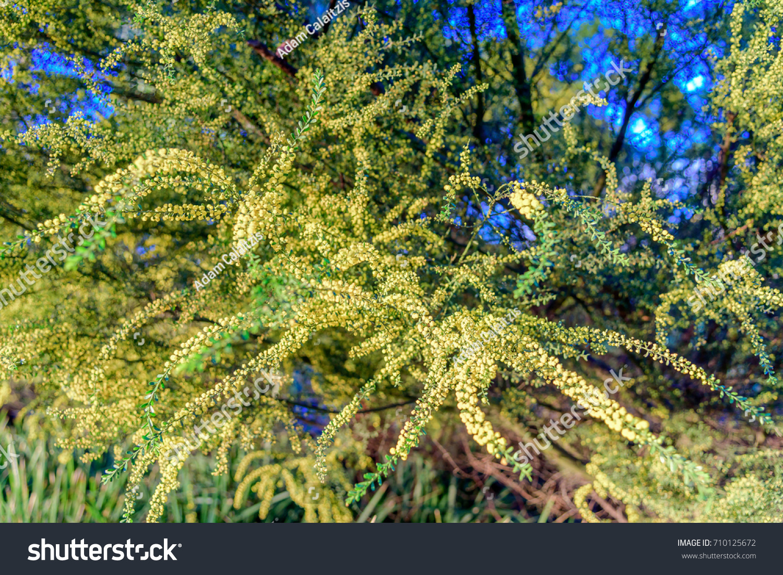 Long yellow flowers native australian wattle stock photo edit now the long yellow flowers of the native australian wattle tree presented in a shallow depth of mightylinksfo