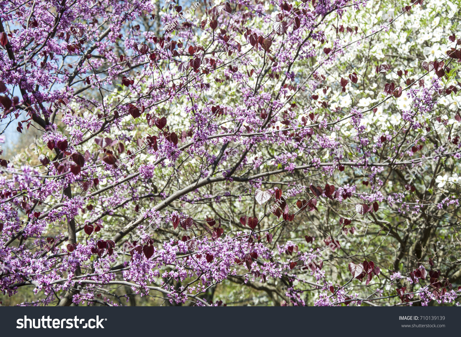 Pansy Redbud Tree In Bloom Close Up With Pink Flowers And Red Heart