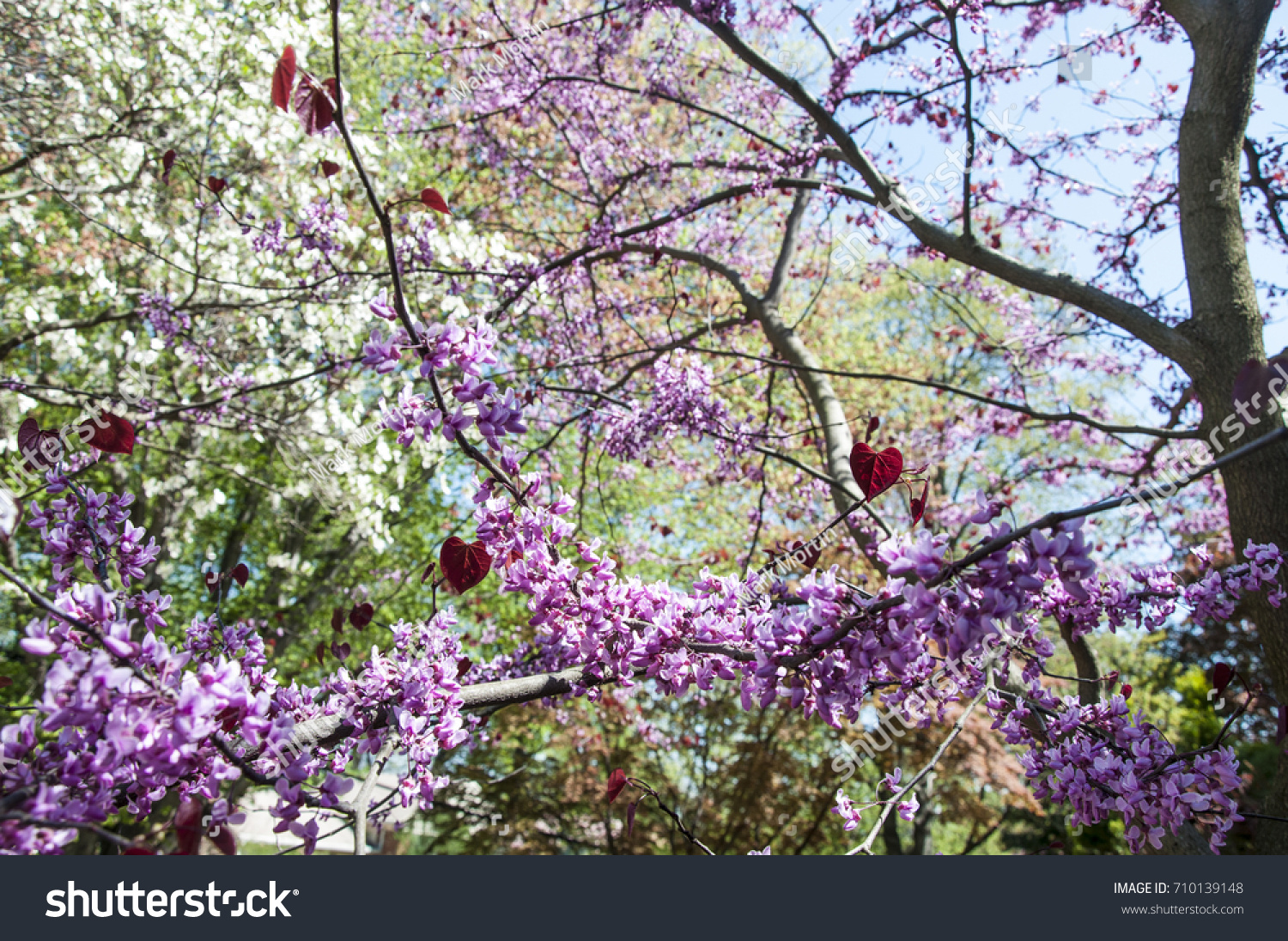 Pansy Redbud Tree Bloom Close Pink Stock Photo Edit Now 710139148
