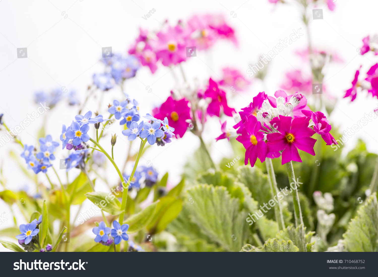 Blue Forgetmenot Flowers Pink Primula Flowers Stock Photo Royalty