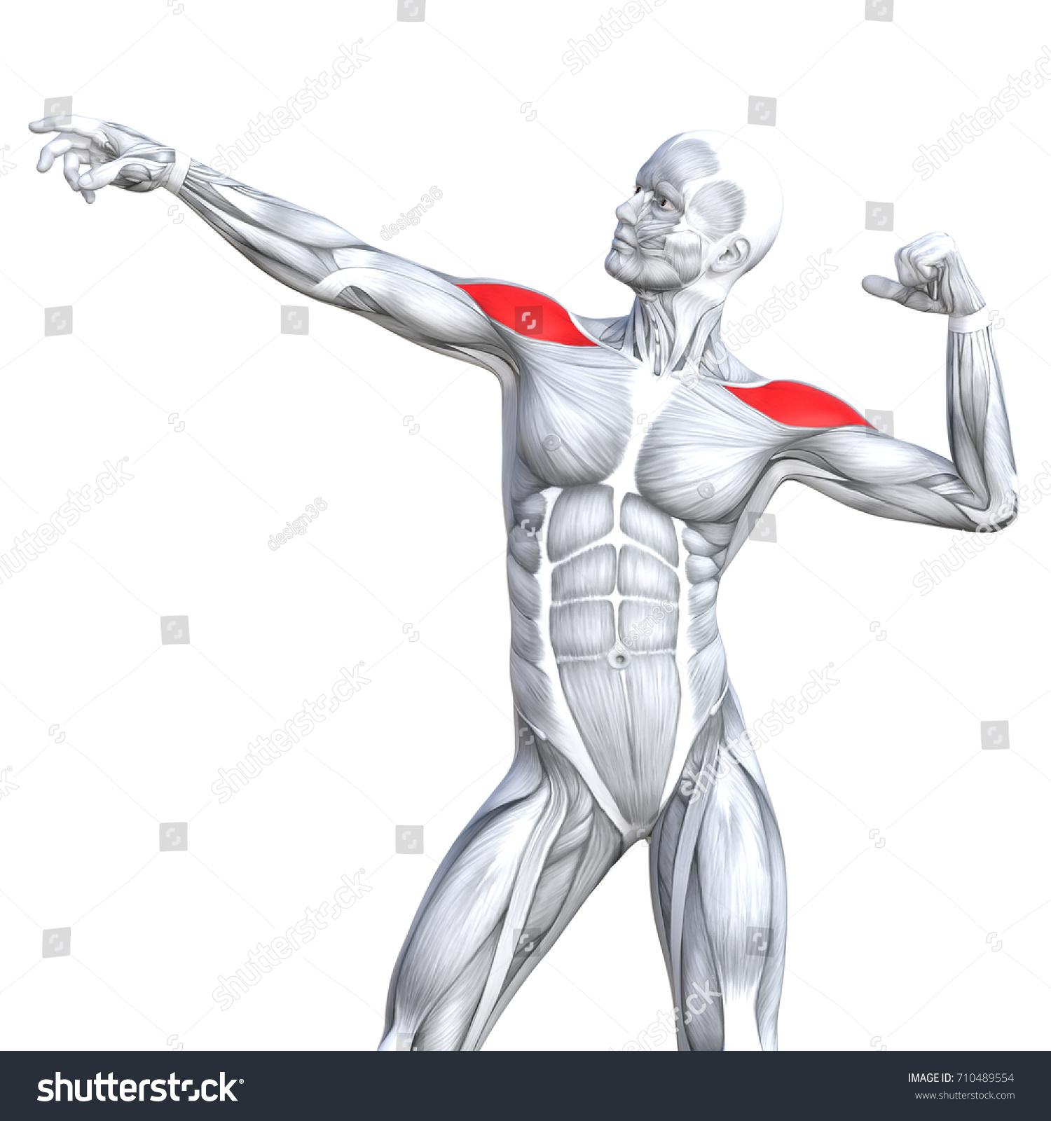 Ausgezeichnet Oberflächenanatomie Thorax Zeitgenössisch - Anatomie ...