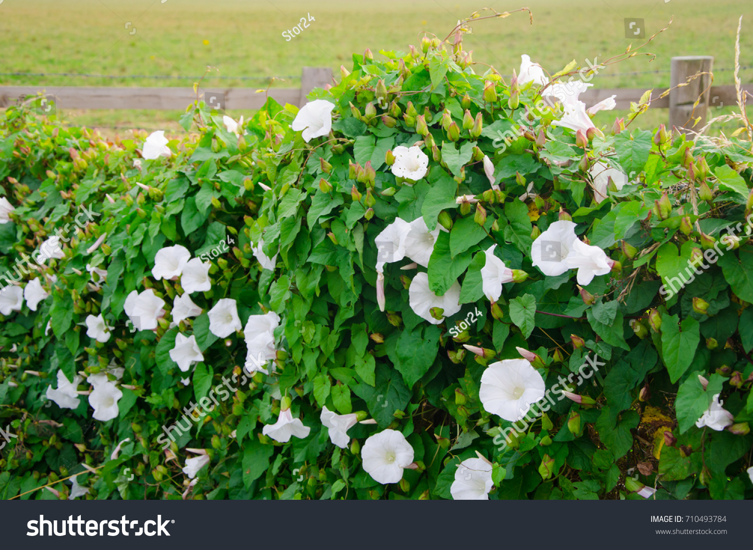White Flowers Vine Fence Edge Front Stock Photo Edit Now 710493784