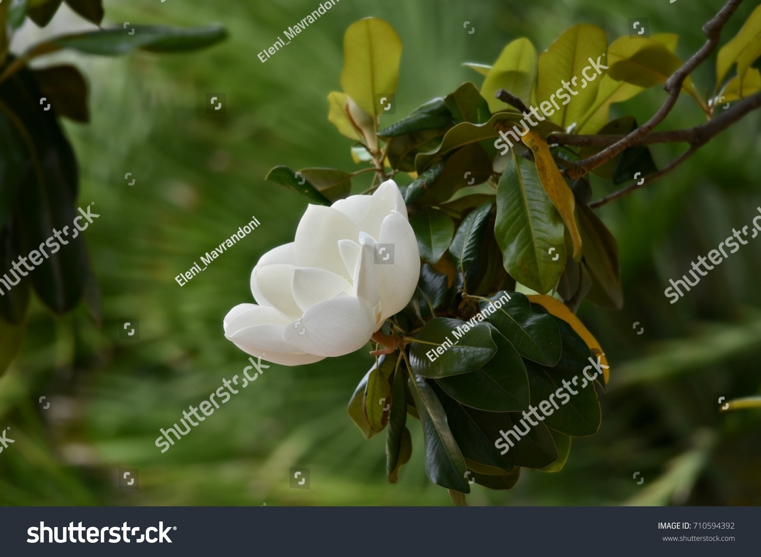 Magnolia Flowering Tree With Large Glossy Green Leaves With Veins