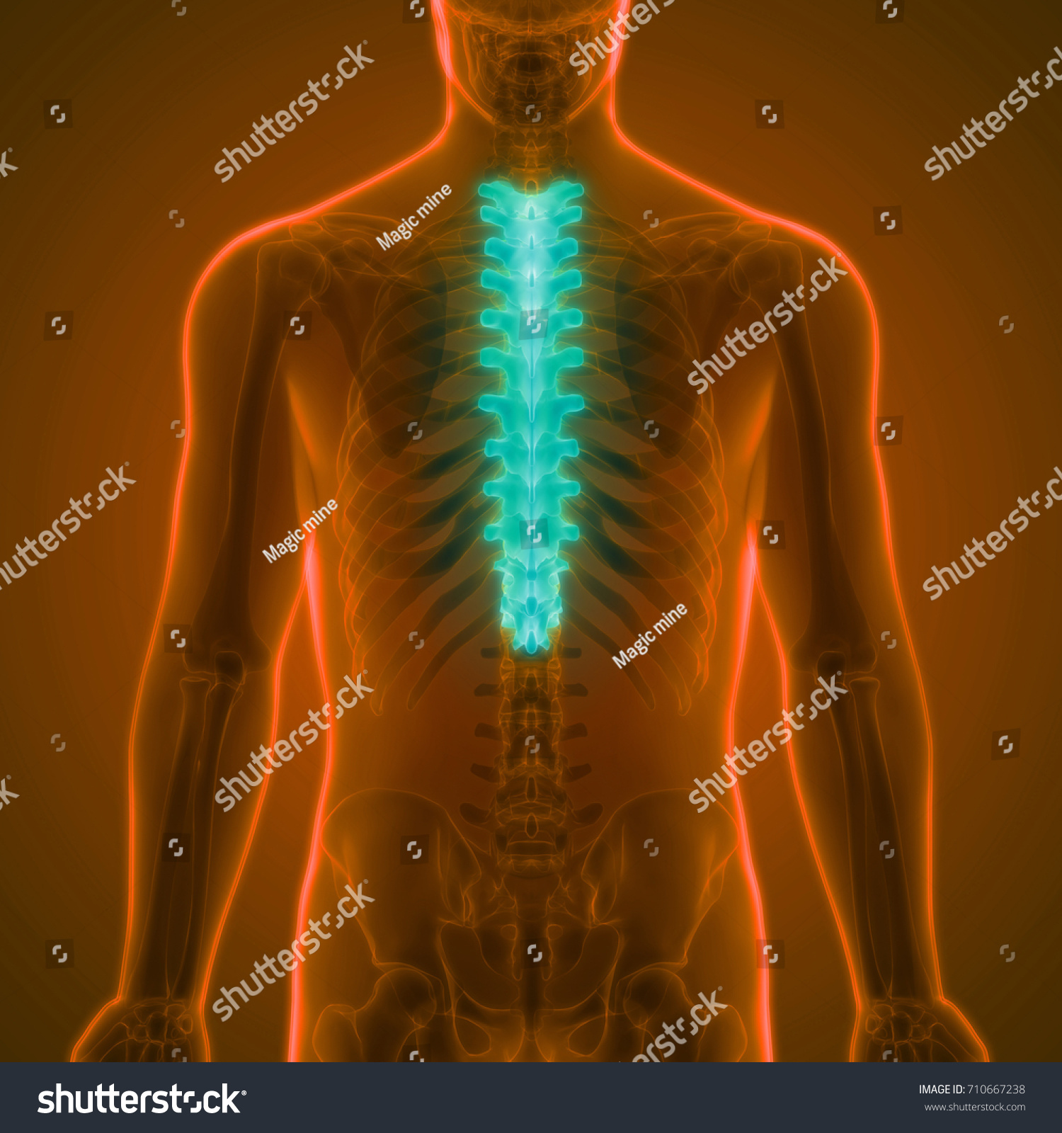 Royalty Free Stock Illustration Of Human Skeleton Vertebral Column