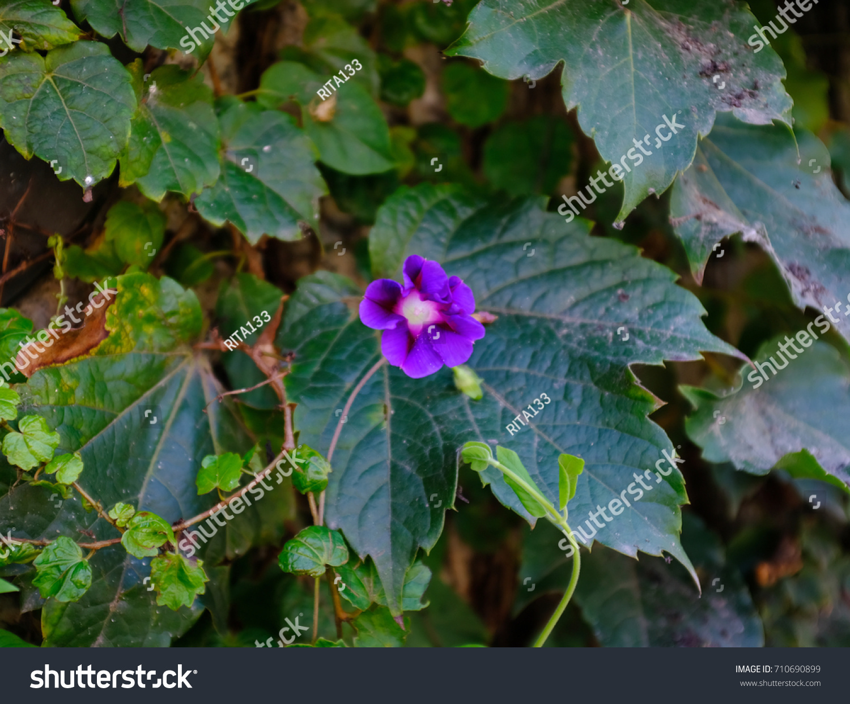 Blue Dawn Flower Blue Morningglory Stock Photo Edit Now 710690899