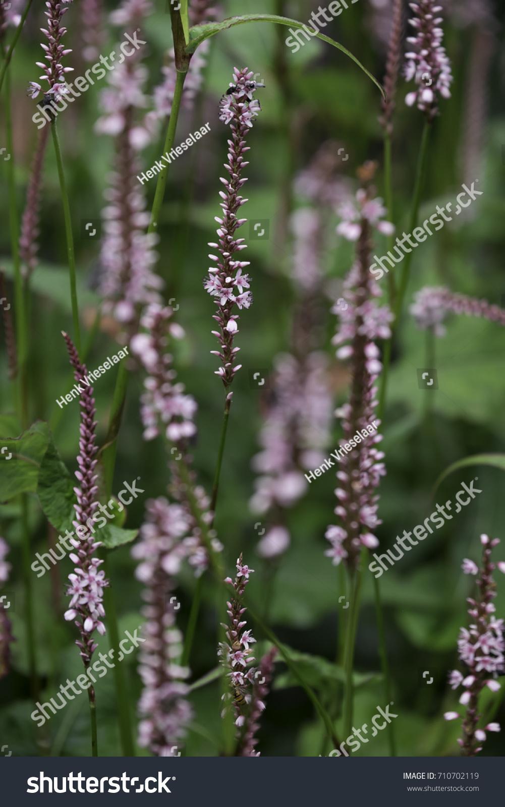 Closeup European Bistort Plant Fleece Flower Stock Photo Royalty