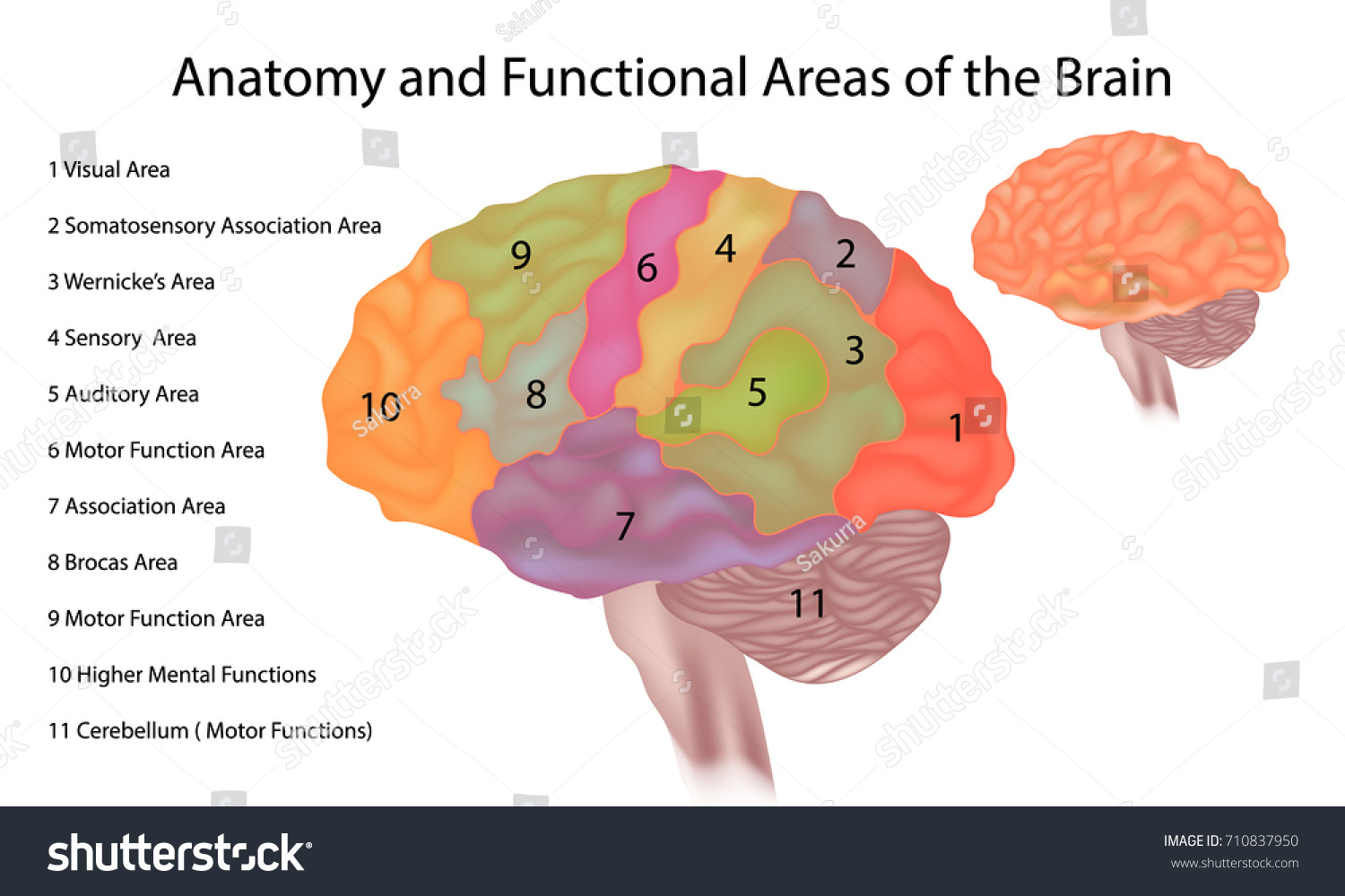 Anatomy Functional Areas Brain Brain Anatomy Stock Vector (Royalty ...