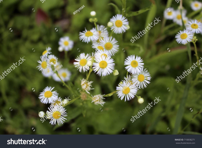 Erigeron annuus daisy ez canvas mightylinksfo