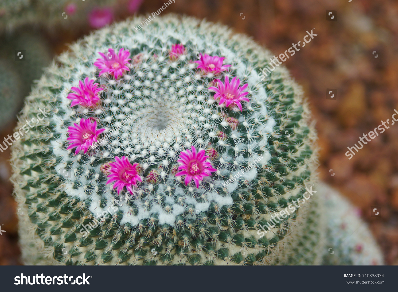 Mammillaria Hahniana Pink Flower Cactus Queen Stock Photo Edit Now
