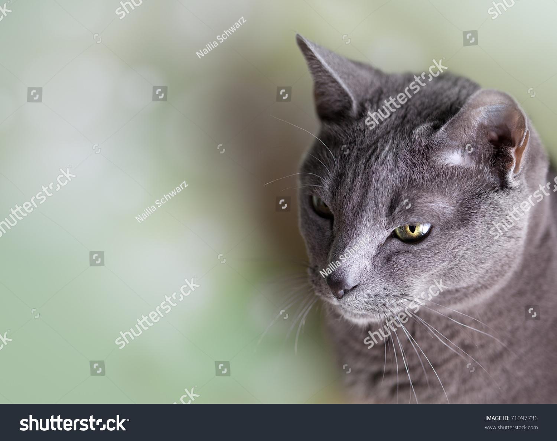 Portrait Purebred Russian Blue Cat Stock Shutterstock