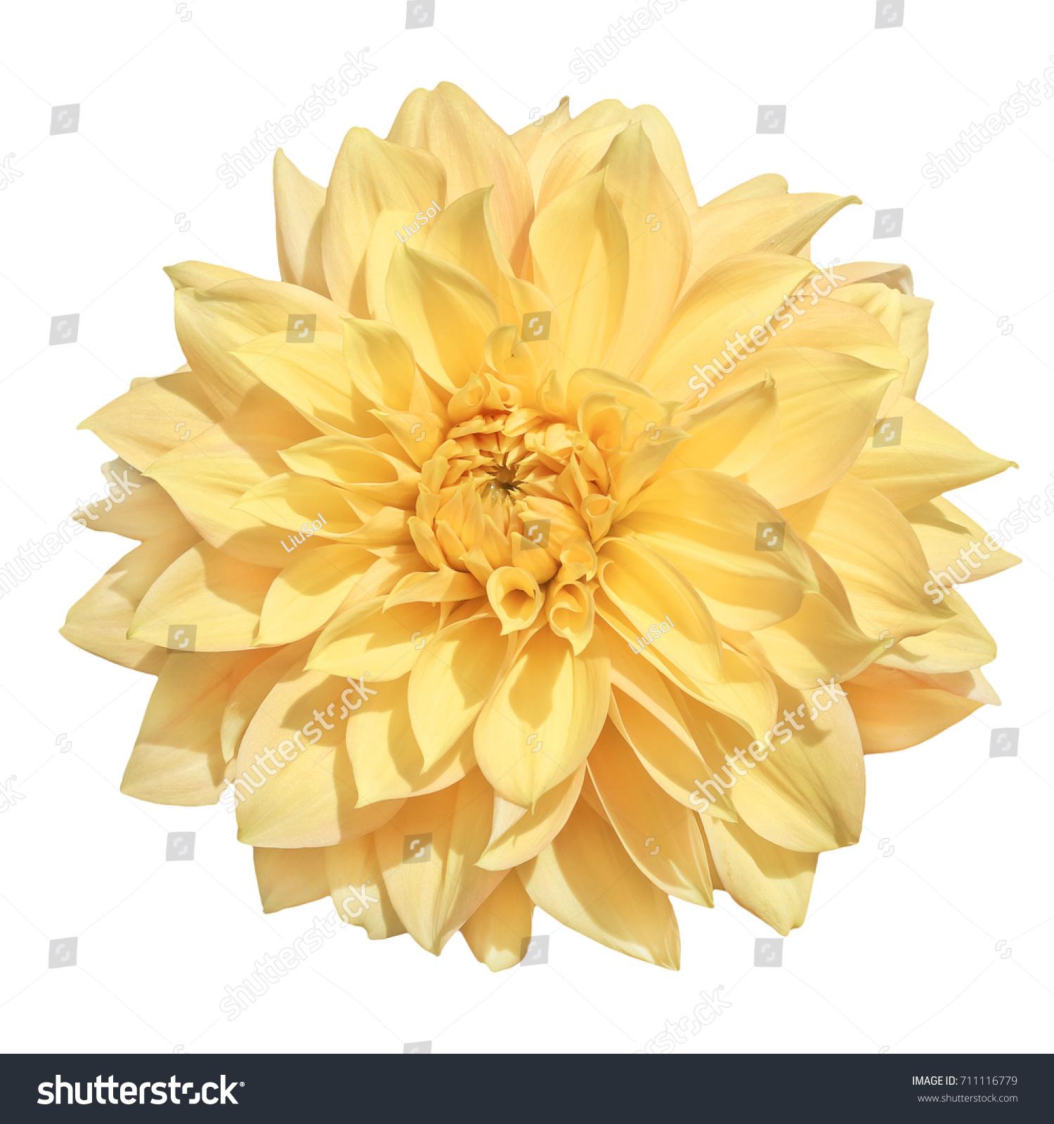Single Flower Yellow Dahlia Isolated On Stock Photo Edit Now