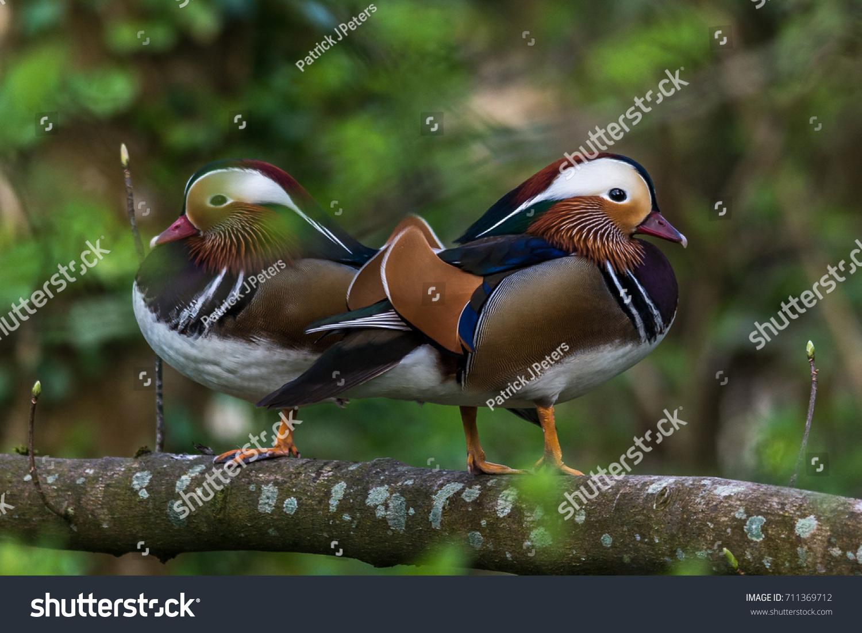 couple mandarin ducks perching tree this type stock photo edit now