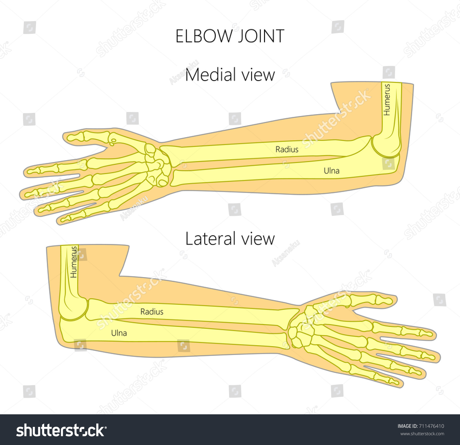 Vector Illustration Human Elbow Joint Anatomy Stock Vector Royalty