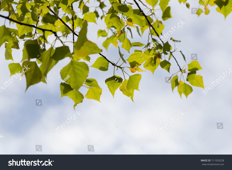 beautiful young birch foliage spring season stock photo 711559228