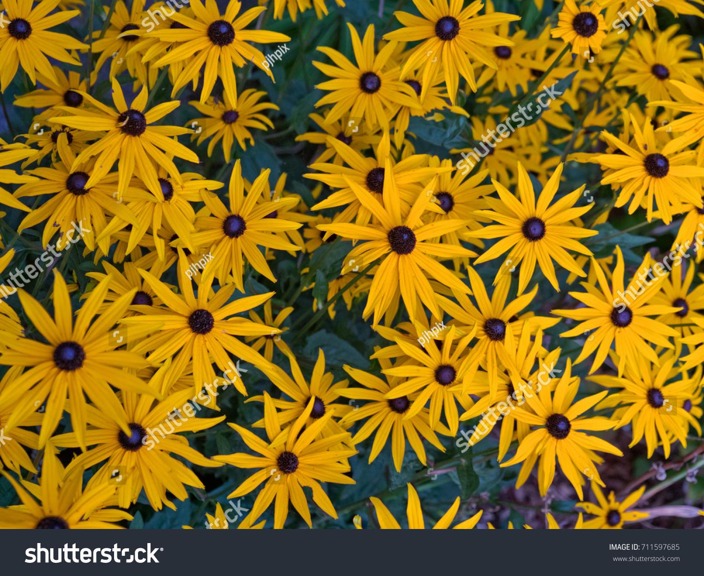 Rudbeckia Flowers Type Daisy Yellow Petals Stock Photo Edit Now