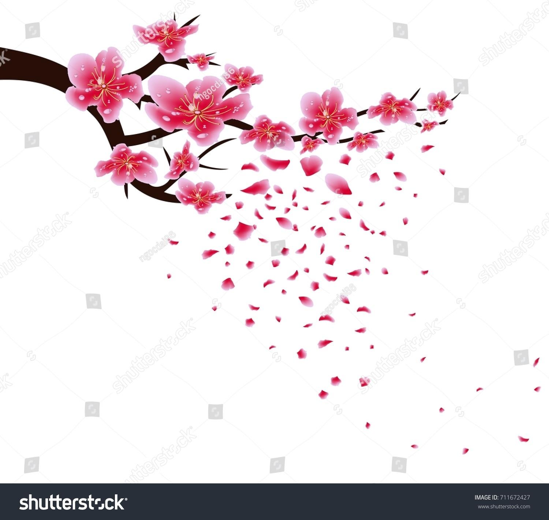 sakura flowers background cherry blossom isolated white background chinese new year