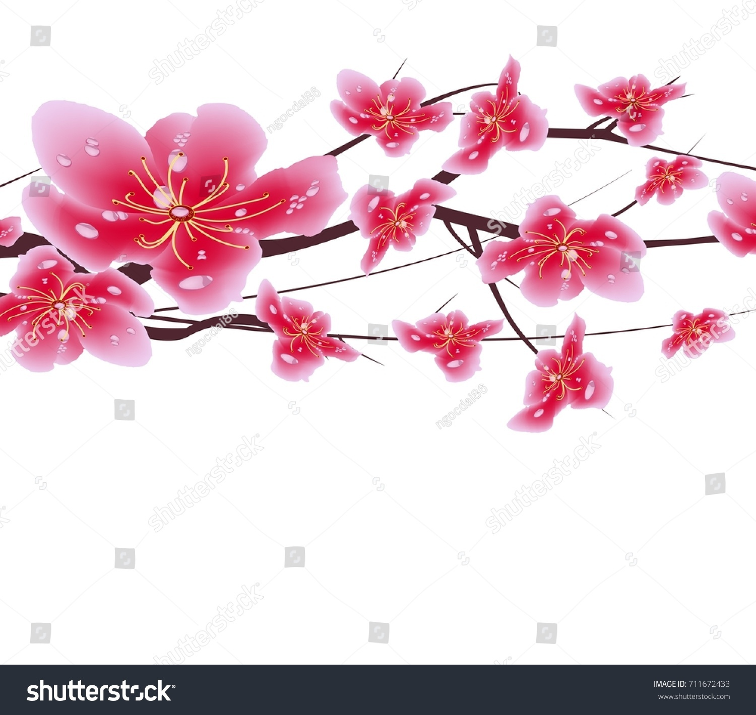 sakura flowers background cherry blossom isolated white background chinese new year