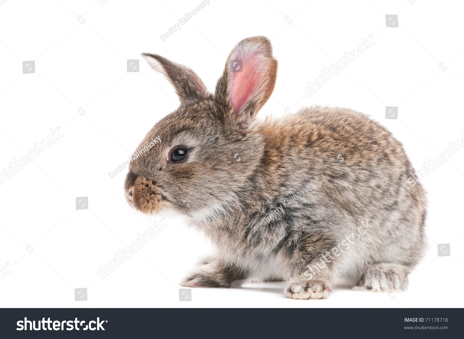 One Young Light Brown Rabbits Long Stock Photo 71178718 ...