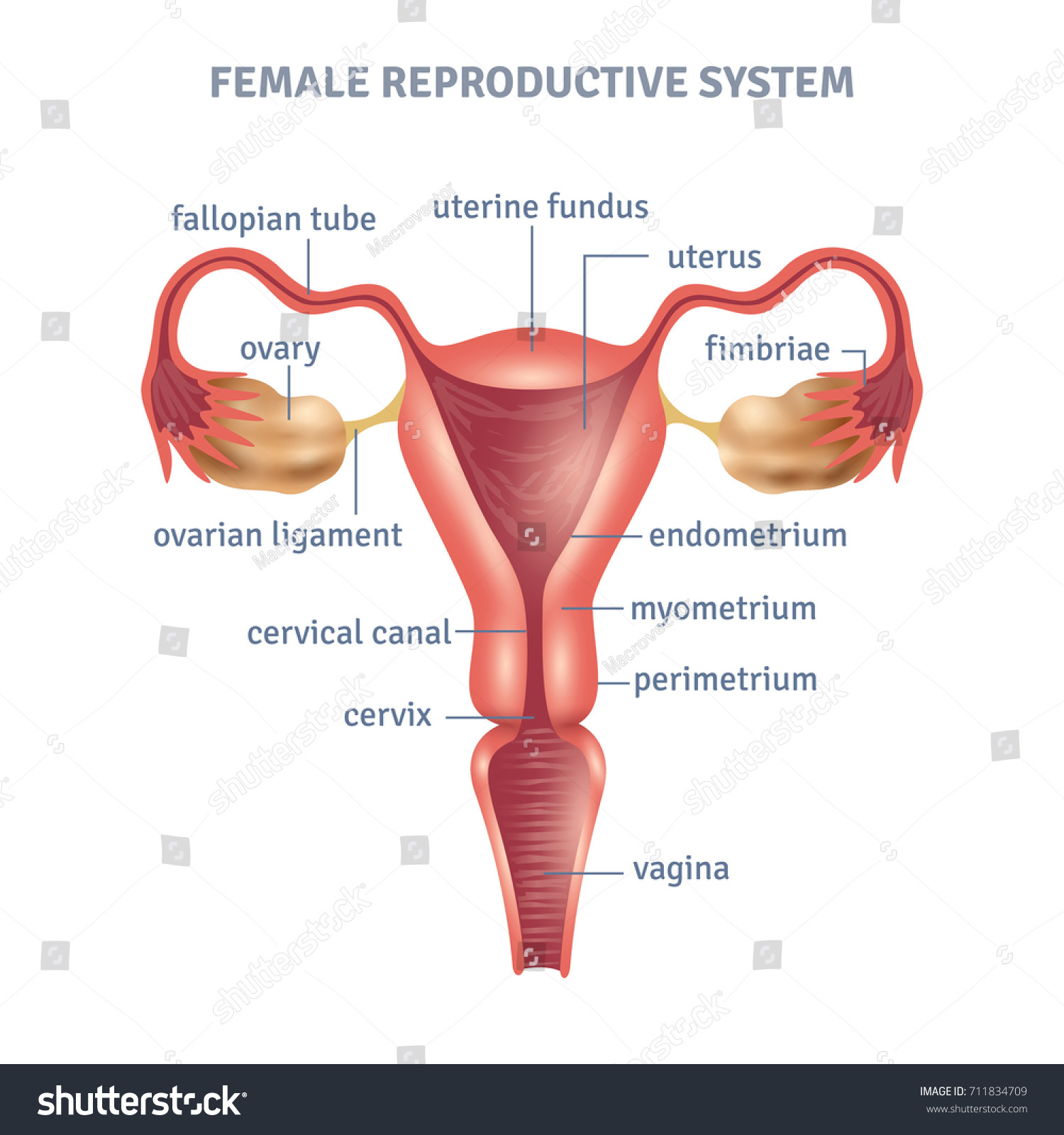 Uterus Medical Poster Female Reproductive System Stockillustration