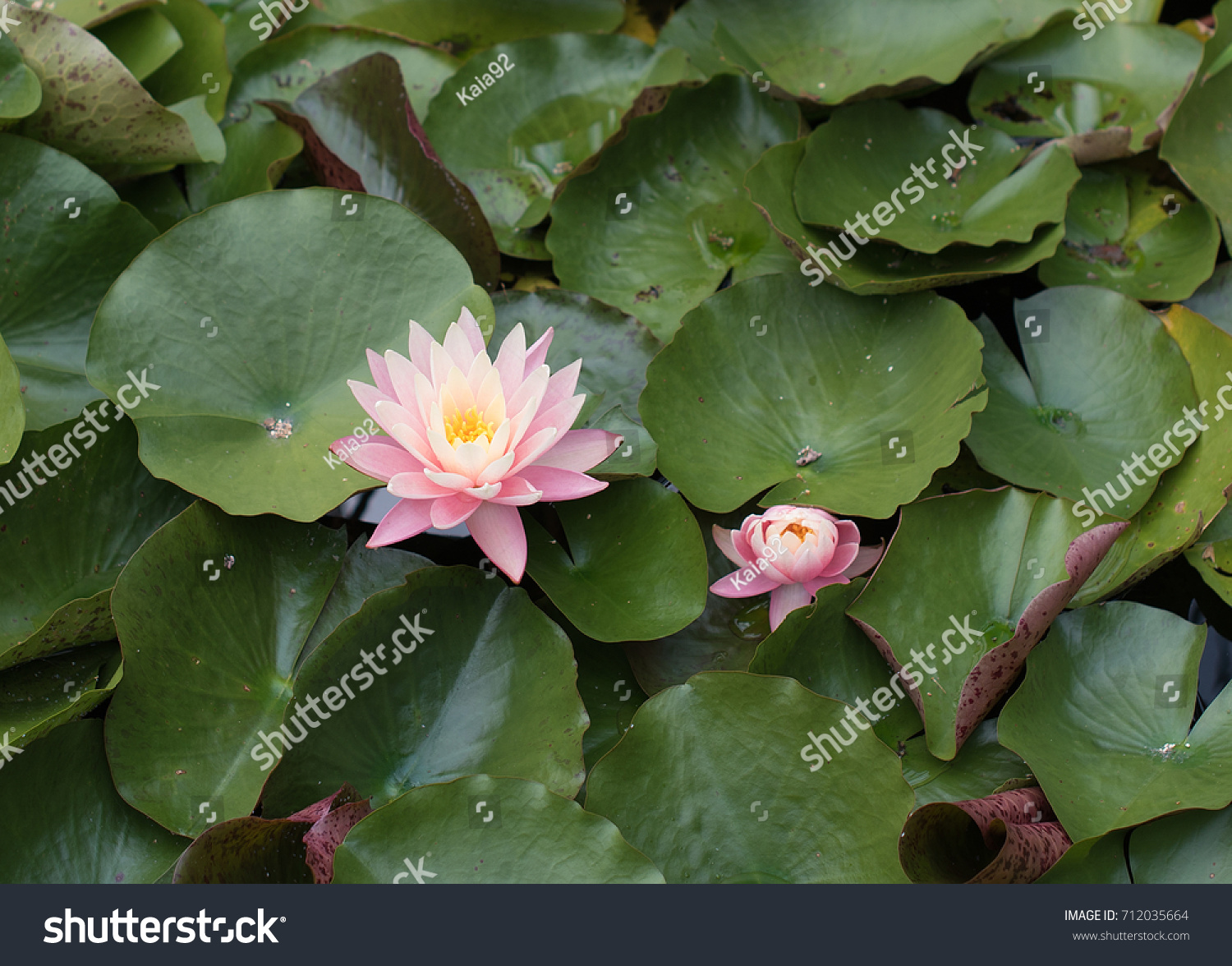 Lotus flower with lily pads in pond ez canvas id 712035664 izmirmasajfo
