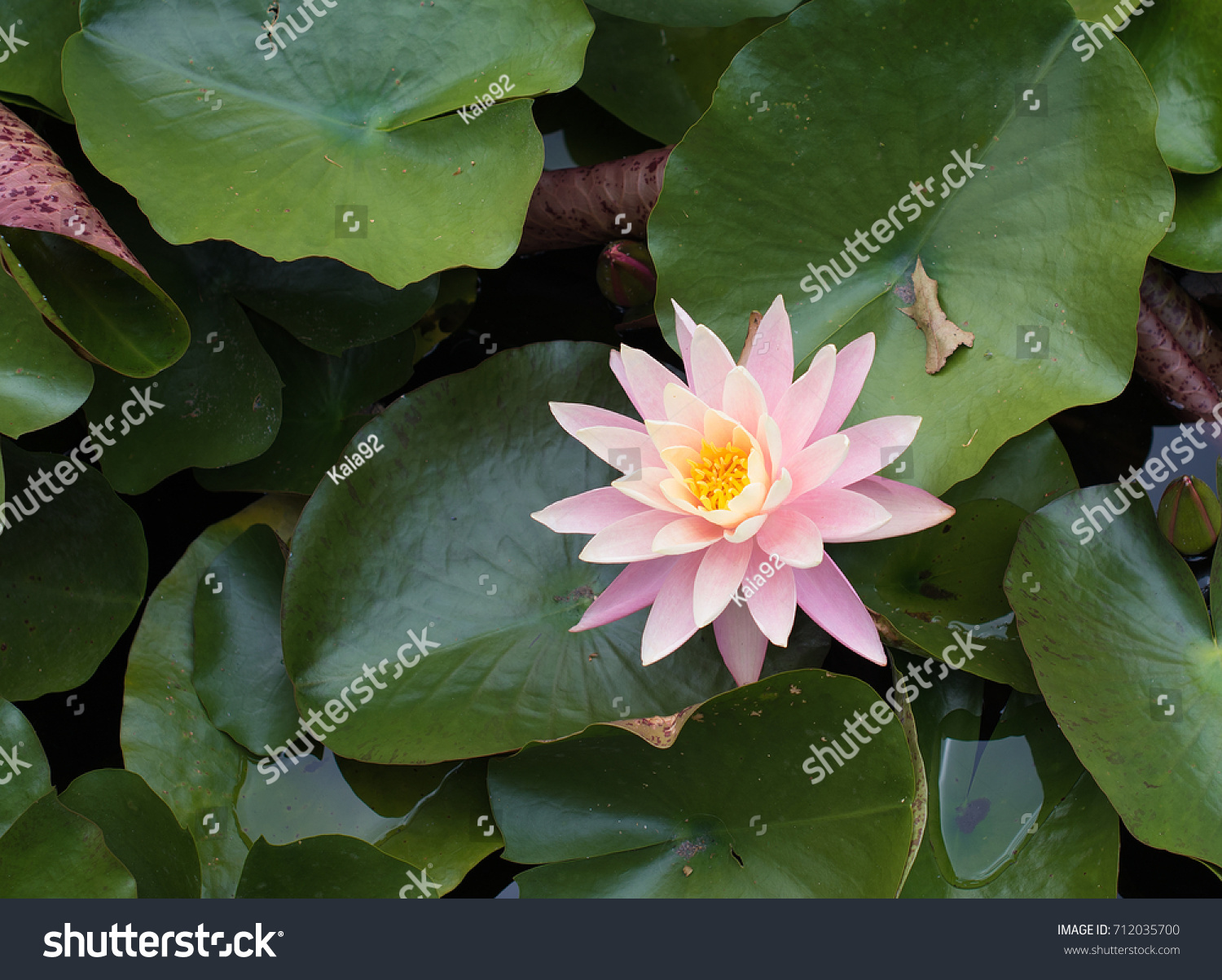Beautiful Pink Lily Water Plant With Reflection In A Pond Ez Canvas