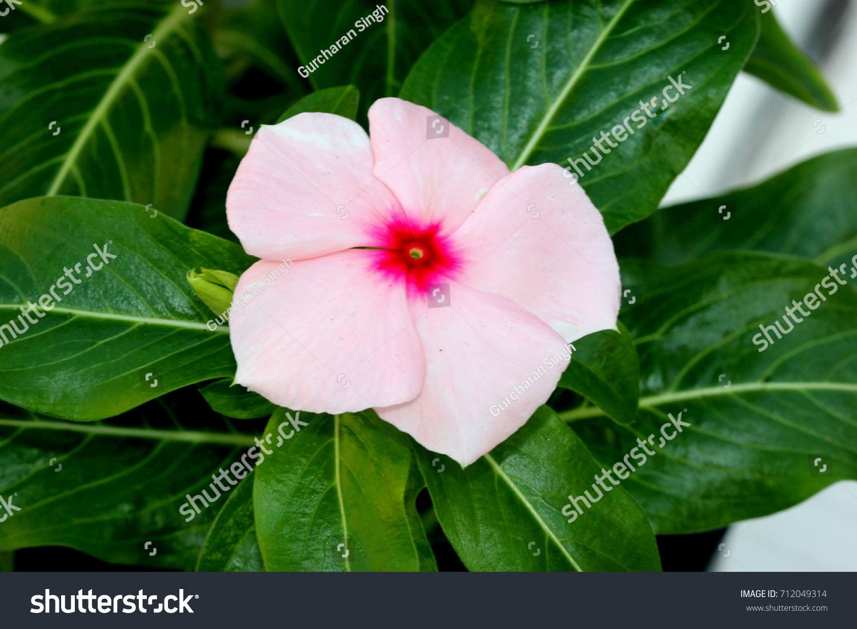 Catharanthus Roseus Madagascar Periwinkle Vinca Rosea Stock Photo