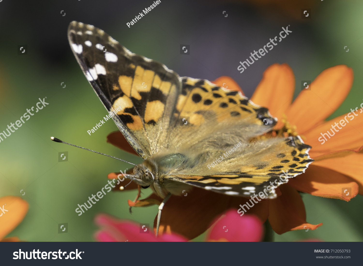 Painted Lady Butterfly Edward Gardens Park Stock Photo (Royalty Free ...