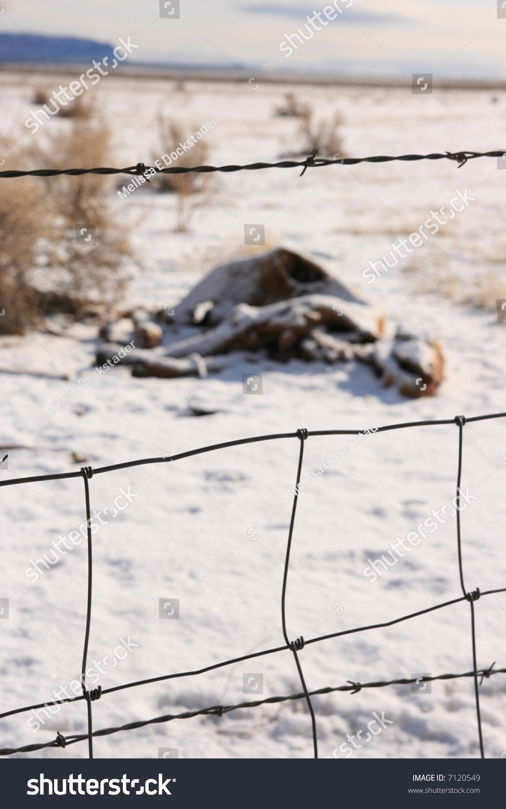 Rotting Decomposing Cow Carcass Behind Barbed Stock Photo (Edit Now ...