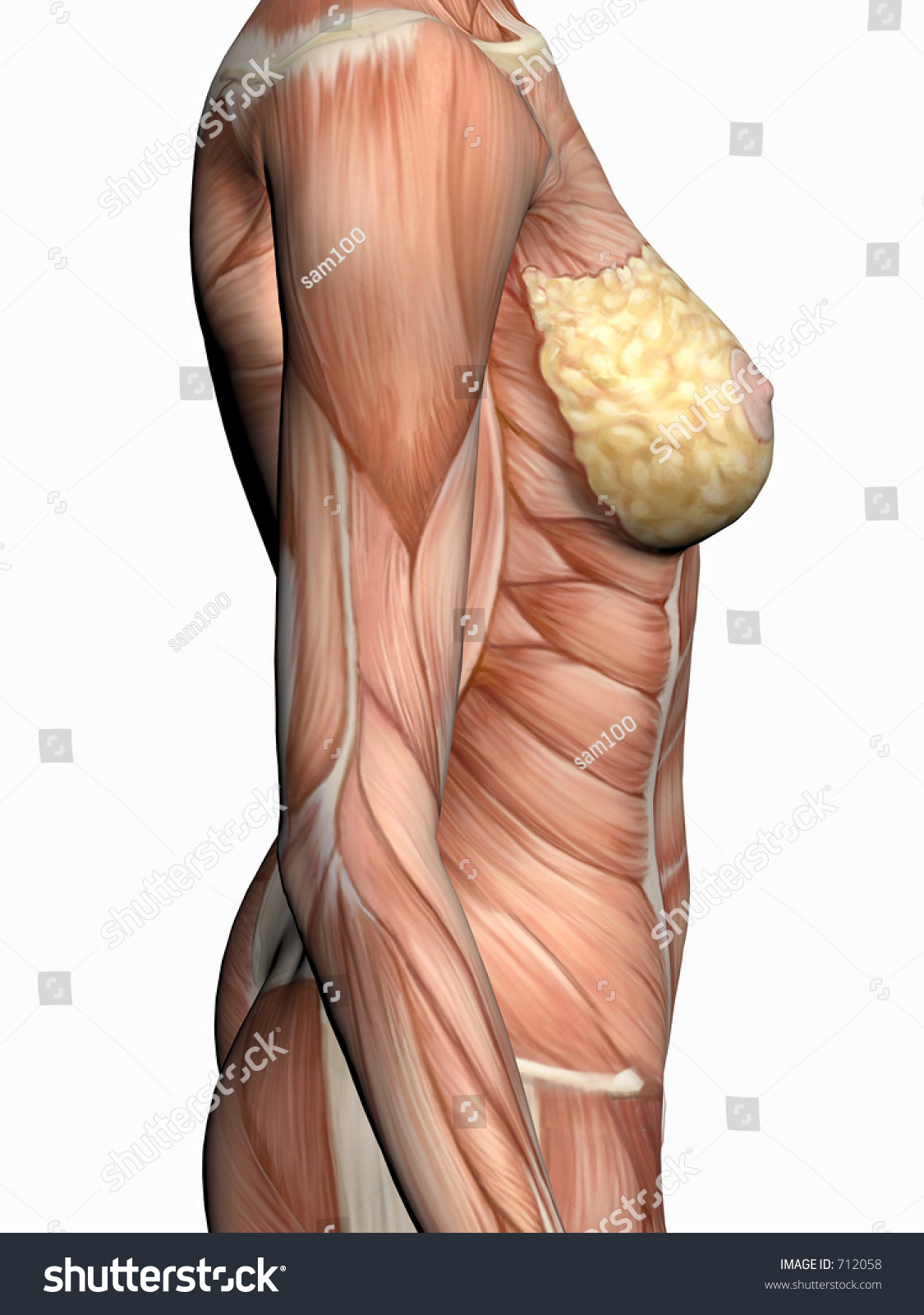 Anatomically Correct Medical Model Human Body Stock Illustration