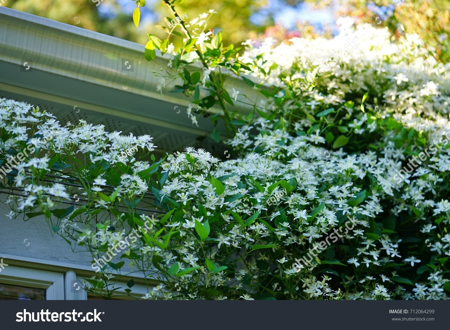 White Flowers Nonclimbing Clematis Vine Recta Stock Photo Royalty