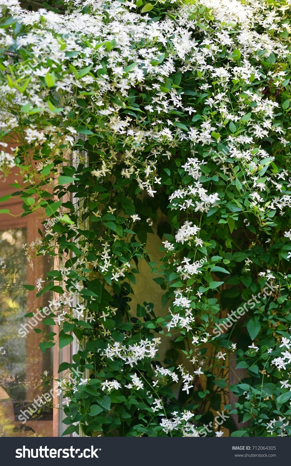 White Flowers Nonclimbing Clematis Vine Recta Stock Photo Edit Now