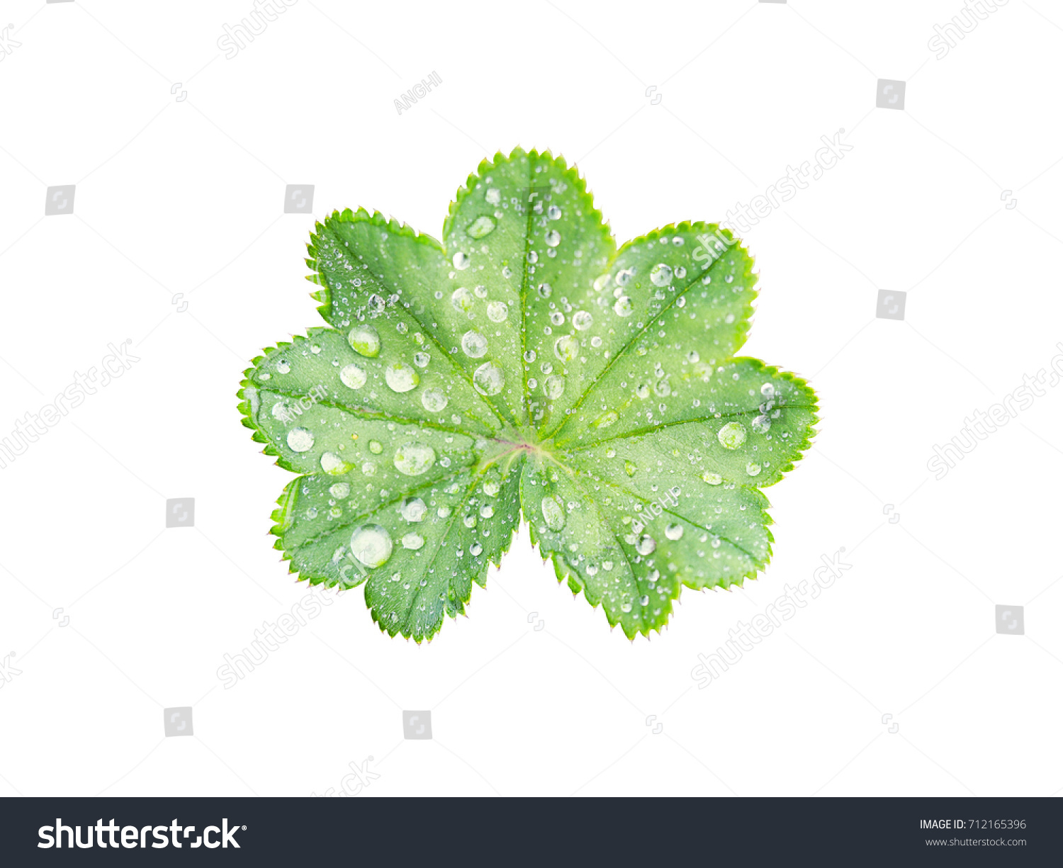 Alchemilla vulgaris, common lady's mantle. Leaf with a wavy edge covered with droplets of dew isolated on white background.  Top view #712165396