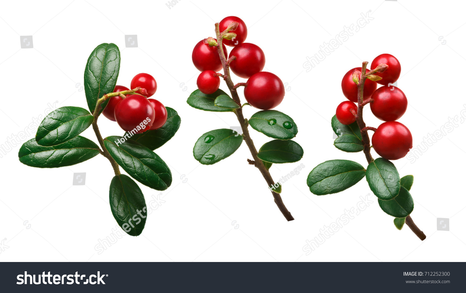 Lingonberry (fruits of Vaccinium vitis-idaea) with stem and  leaves. Clipping paths for each #712252300
