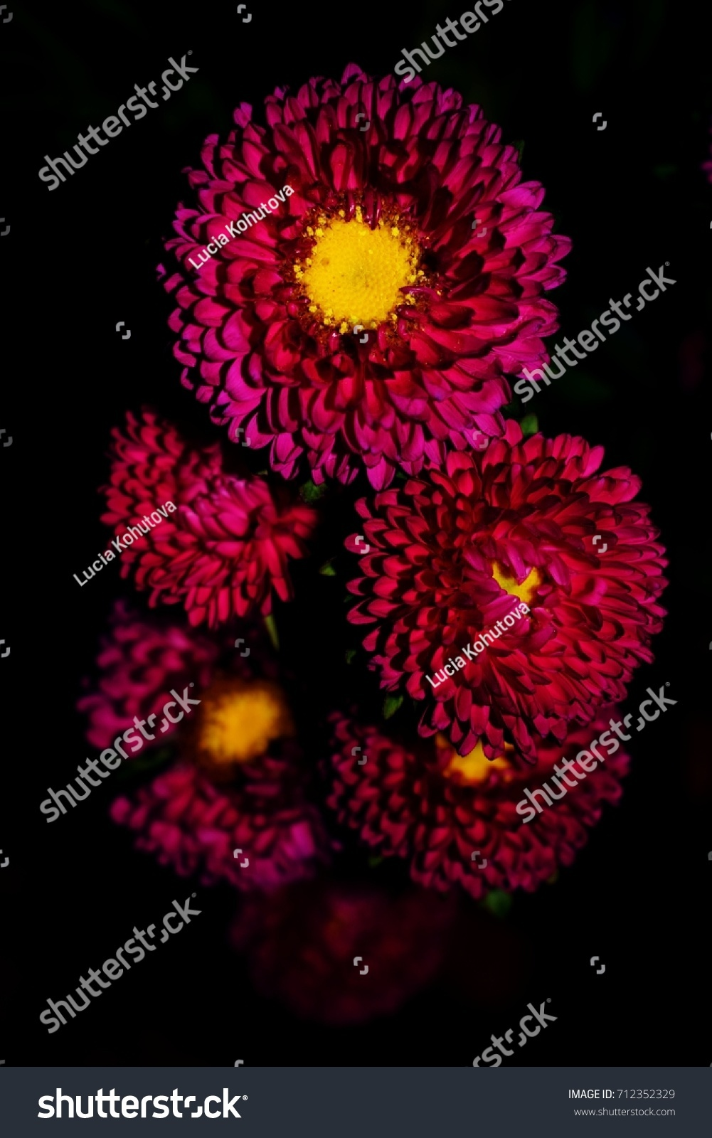 Pink daisylike flowers aster on black stock photo edit now pink daisy like flowers of aster on black background izmirmasajfo
