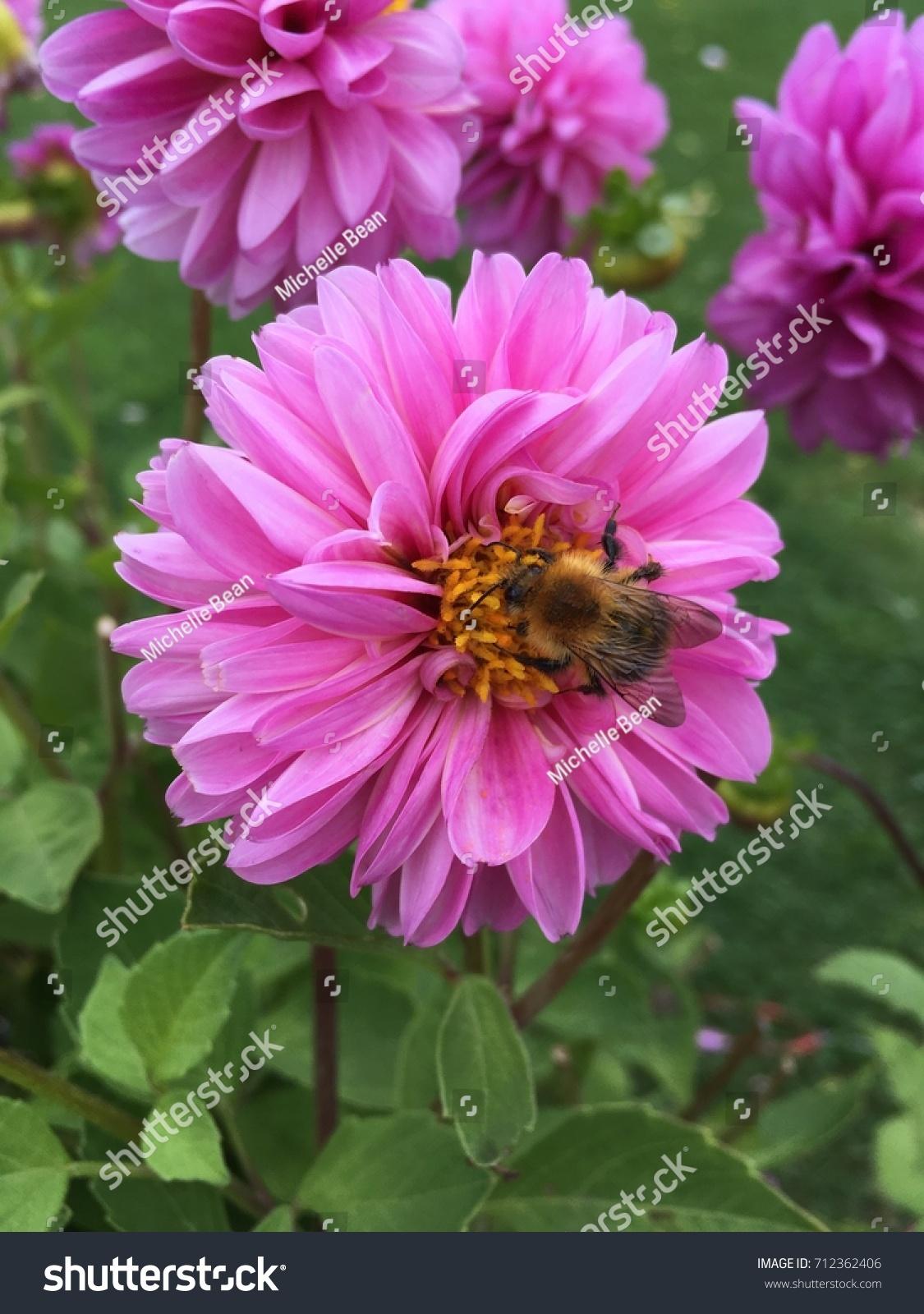 Pink Pom Pom Dalia Flower Pollenated Stock Photo Edit Now
