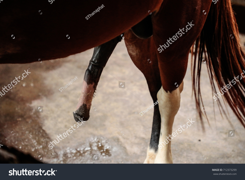 Horse Stallion Penis