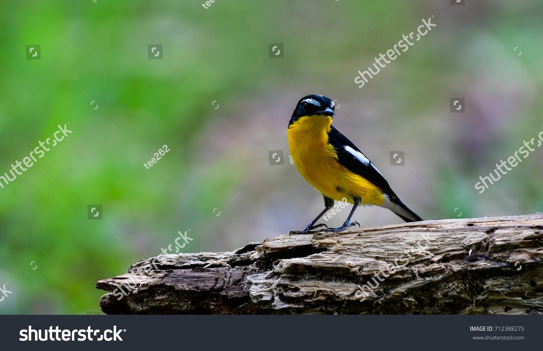 Little Yellow Bird >> Yellowedrump Flycatcher Little Yellow Bird Migration Thailand Stock