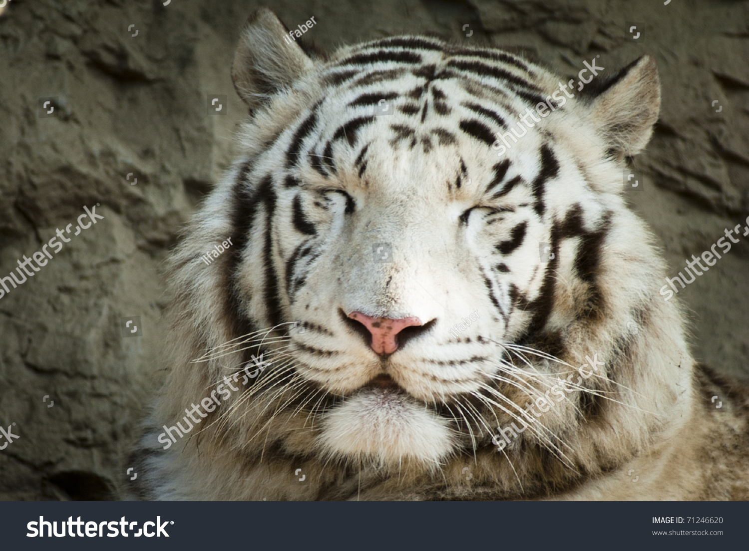 White Tiger Smiling Stock Photo 71246620 - Shutterstock